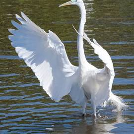 Carol Groenen - Great Egret Symphony