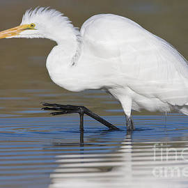 Great egret with leg up by Bryan Keil