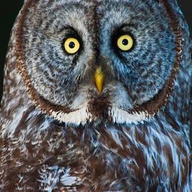 Great Gray Owl - 1 by Robert McAlpine