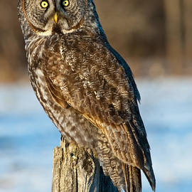 Robert McAlpine - Great Gray Owl