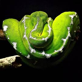 Christy Ricafrente - Great Mamba Snake