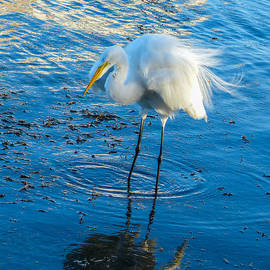 Great White Egret fluffing feathers by Stacy Holbert
