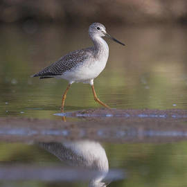 Greater yellow legs on the pond by Ruth Jolly