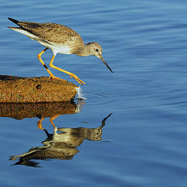 Greater Yellowlegs by Tony Beck