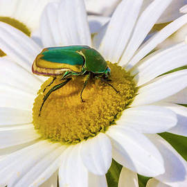 Green And Gold Beetle by Photographic Art by Russel Ray Photos