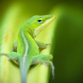 Green Anole by Brandt Clowers
