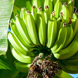 Green Bananas by William Krumpelman