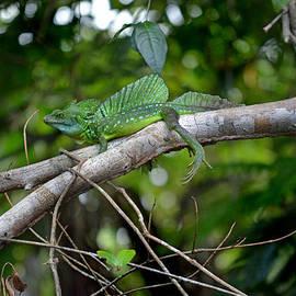 Gary Keesler - Green Basilisk Lizard