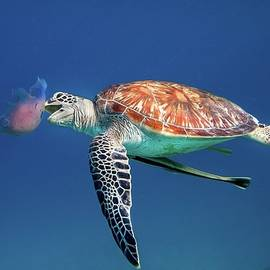 Green Sea Turtle Eating Jellyfish by Ai Angel Gentel