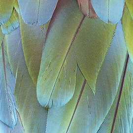 Judy Whitton - Green-winged Macaw
