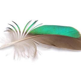 Green-Winged Teal  by Chris Maynard
