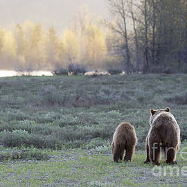 Mike Cavaroc - Grizzly Bear and Cubs