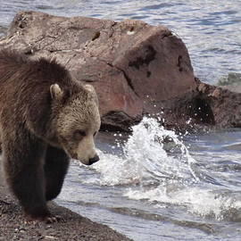 Dan Sproul - Grizzly Bear At Yellowstone Lake