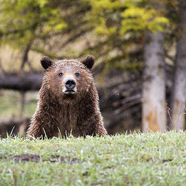 Mike Cavaroc - Grizzly Bear Behind Ridge
