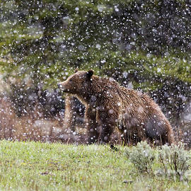 Mike Cavaroc - Grizzly Bear in Snow Storm