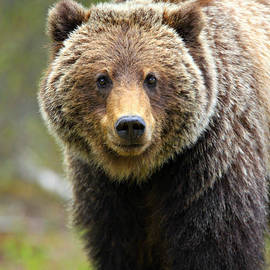 Stephen Stookey - Grizzly