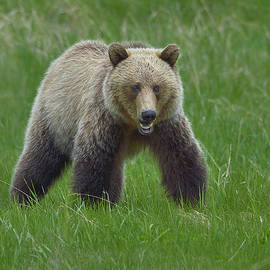 Tony Beck - Grizzly