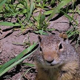 Dan Sproul - Ground Squirrel