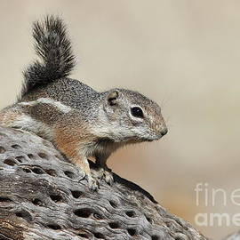Bryan Keil - Ground Squirrel on a cactus