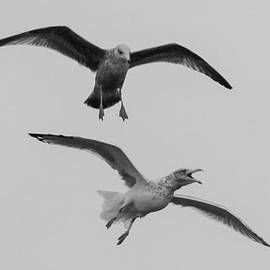 Gull Raptors - When Seagulls Attack by Kirkodd Photography Of New England