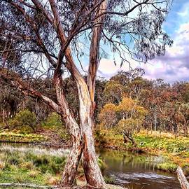 Wallaroo Images - Gum Tree By The River