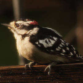 Hairy Woodpecker by Scott Hovind