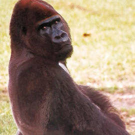 Handsome Gorilla by Belinda Lee