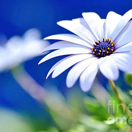 Happy White Daisy 2- Blue Bokeh  by Kaye Menner