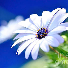 Happy White Daisy - Blue Bokeh by Kaye Menner