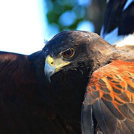 Roy Williams - Harris Hawk - Close Up