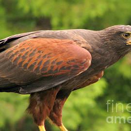 Harris's Hawk by Frank Townsley