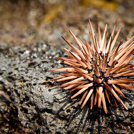Hawaiian Pink Sea Urchin by Kenton Wandasan