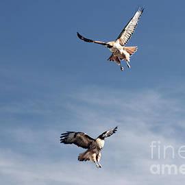 Hawk Dance by Bob Hislop