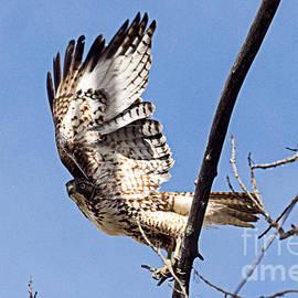 Hawk Eye by Bob Hislop