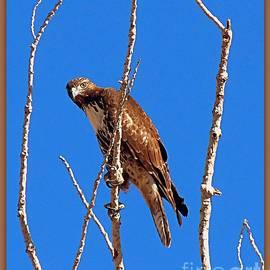 Bobbee Rickard - Hawk on Watch