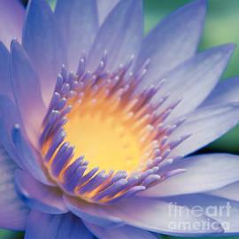 He Makana Nau Ke Aloha - Nymphaea stellata - Star Lotus by Sharon Mau