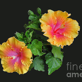 Hibiscus Duo by Susan Wiedmann
