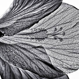 Hibiscus Salute to the Sun by Walt Foegelle
