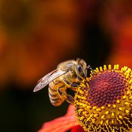 Honeybee at Work by Jurgen Lorenzen