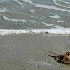 Horseshoe Crab On Cumberland Island by Bruce Gourley