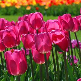 Allen Beatty - Hot Pink Triumph Type Tulips
