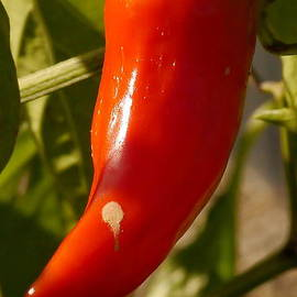 Christiane Schulze Art And Photography - Hot Red Pepper