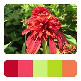 #hotpapaya #coneflower #adobe #kuler