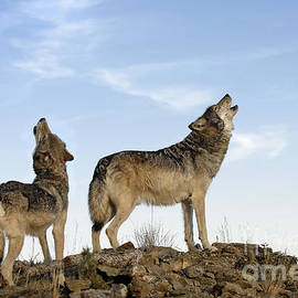 Wildlife Fine Art - Howling wolves-animals-image