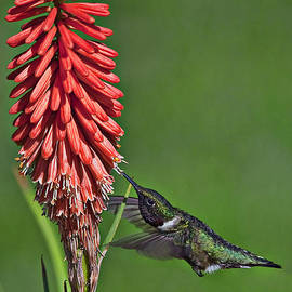 Rufous Hummingbird by Marcia Colelli
