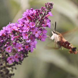 Hummingbird Moth by Trish Tritz