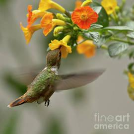 Hummingbird sips Nectar by Heiko Koehrer-Wagner