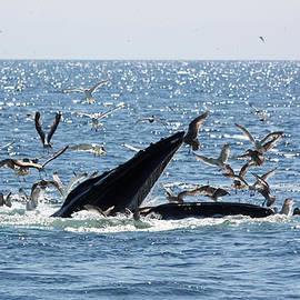 Humpback Whale Bubble Feeding by Jean Clark