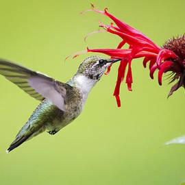 Hungry Hummingbird by Christina Rollo