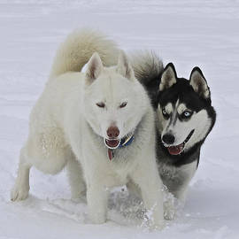 May Finch - Huskies In The Snow